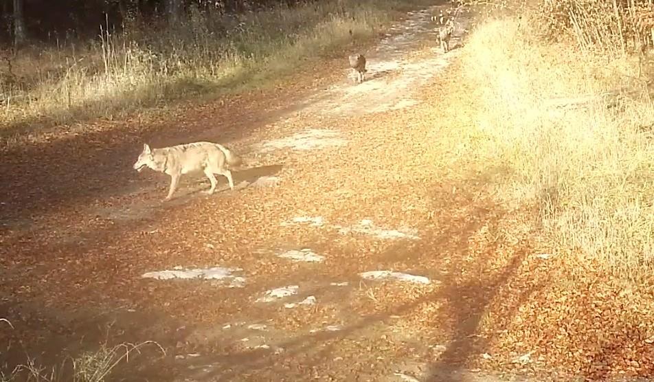 Lelőttek egy védett farkast a Bükkben