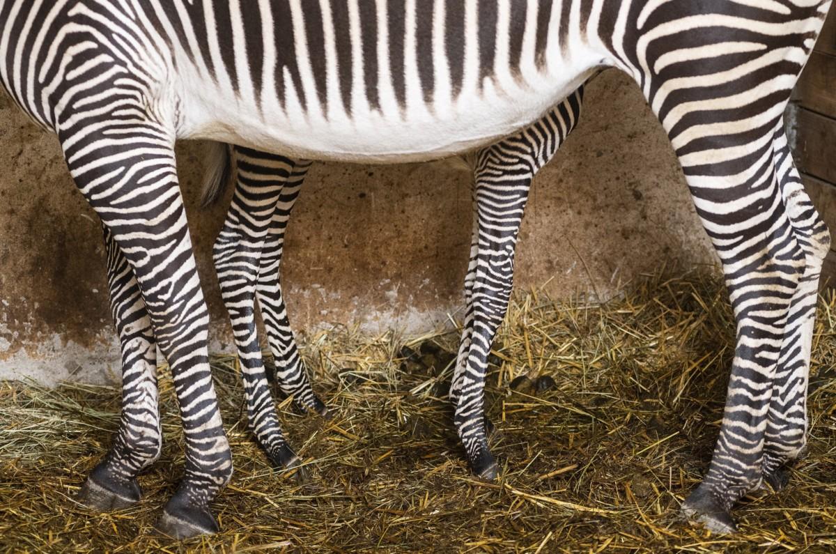 Háromnapos Grévy-zebra (Equus grevyi) anyjával a Nyíregyházi Állatparkban 2019. január 3-án.