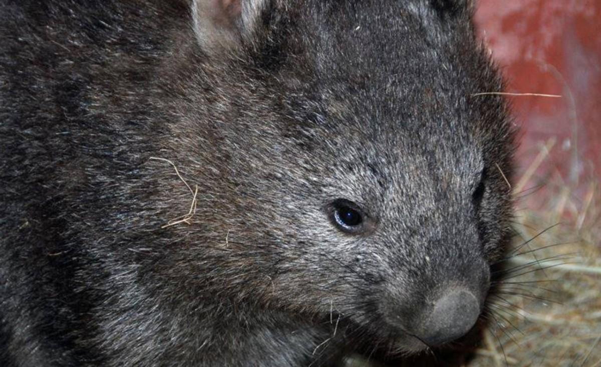 Vombat született a budapesti állatkertben, itt az első videó a kicsiről