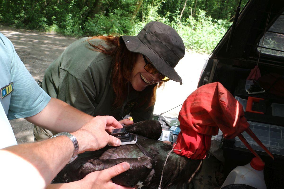 Zoltán, a fekete gólya GPS-jeladóval való ellátása.