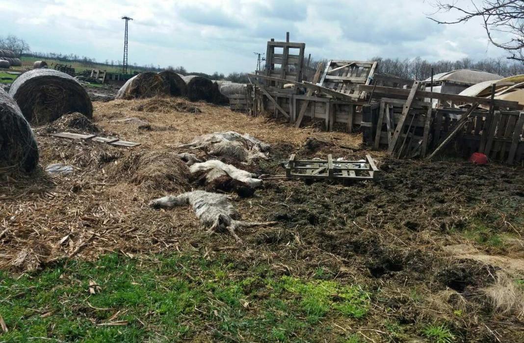 Kutyáival etette fel döglött kecskéit egy gazda Boconádon