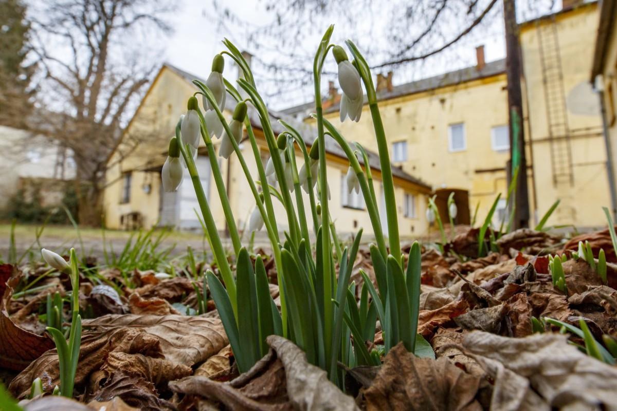 Hóvirág nyílik Nagykanizsán egy társasház udvarán 2019. február 3-án.