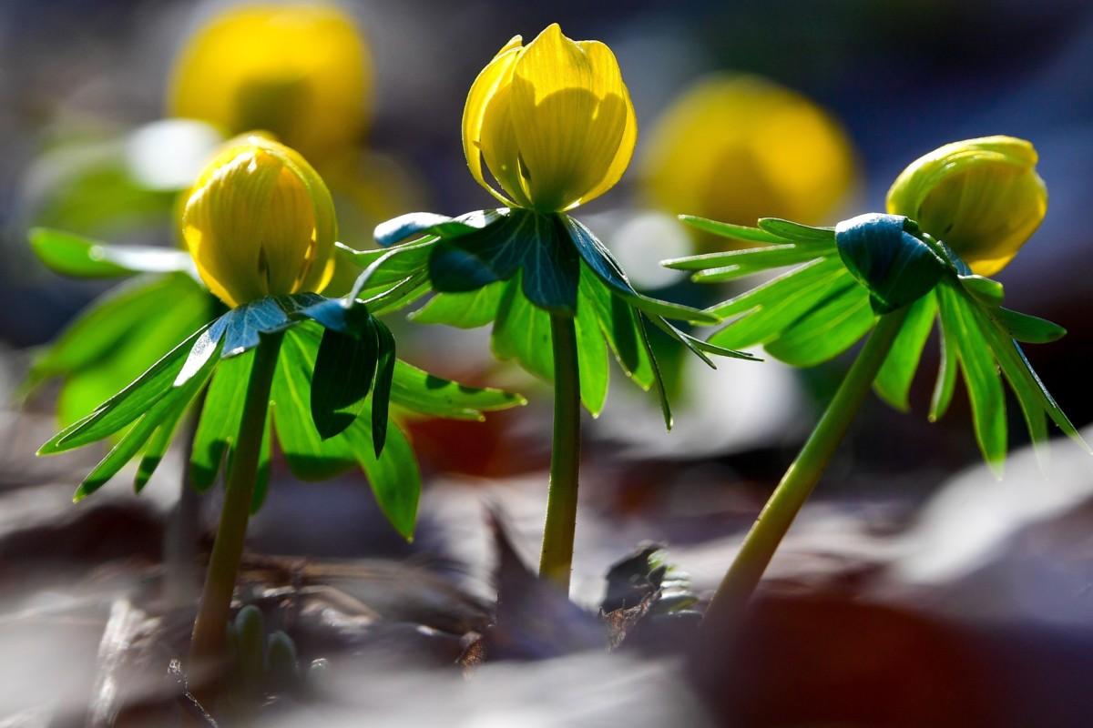 Virágzik a téltemető virág (Eranthis hyemalis) a debreceni Nagyerdőben, a Békás-tó közelében 2019. február 19-én.