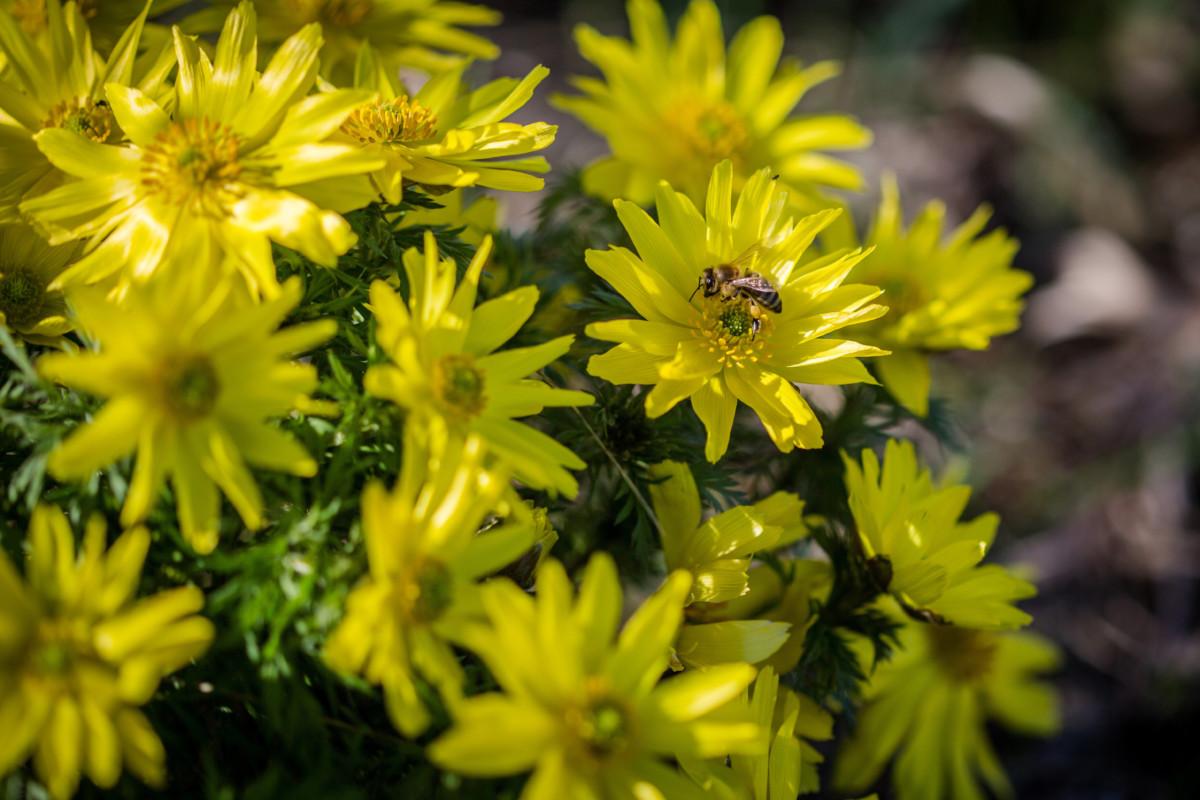 Egy méh virágport gyűjt a virágzó erdélyi héricsen (Adonis x hybrida) a Körös-Maros Nemzeti Park területén, Csorvás határában 2019. március 17-én.