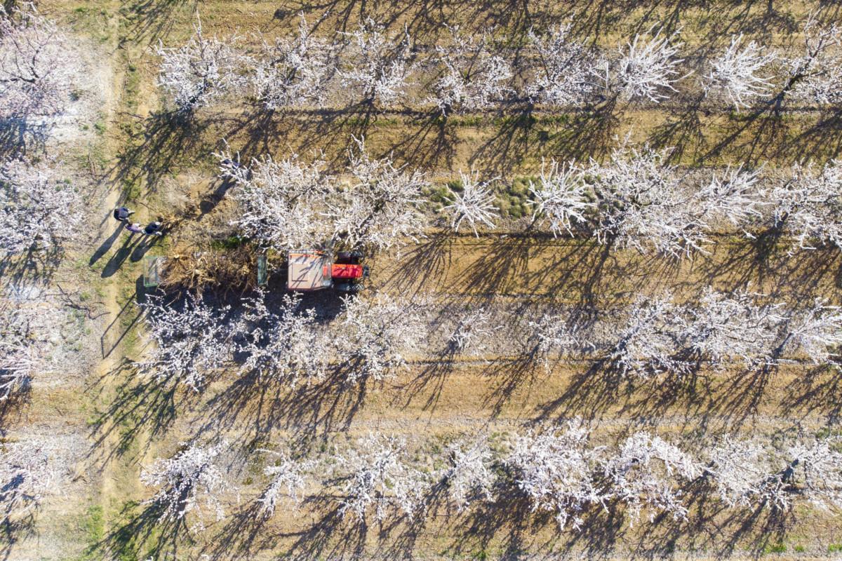 Virágzó kajszibarack-ültetvény Somogytúr közelében 2019. március 24-én.