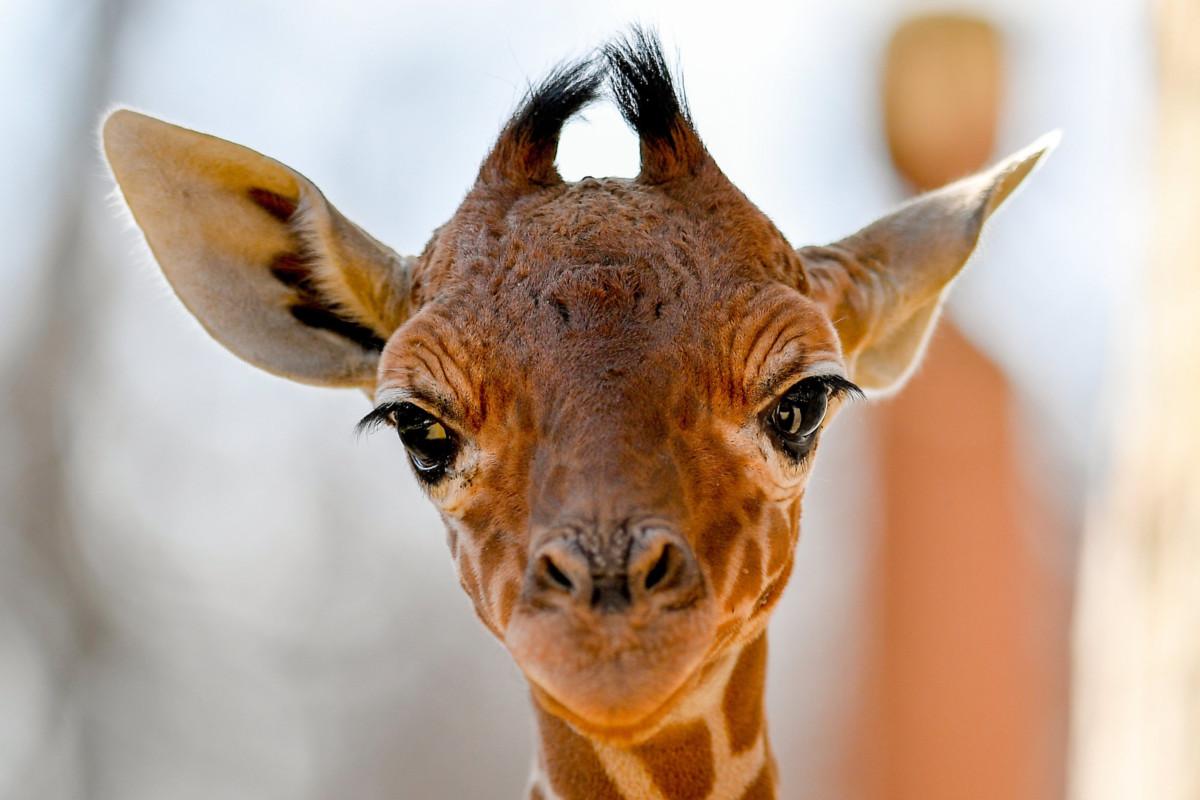 A debreceni állatkert két és félhetes recés zsiráfcsikója (Giraffa camelopardalis reticulata) a sajtóbemutató napján, 2019. március 20-án.