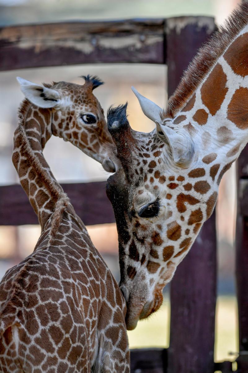 A debreceni állatkert két és félhetes recés zsiráfcsikója (Giraffa camelopardalis reticulata) anyja, Emma mellett a sajtóbemutató napján, 2019. március 20-án.