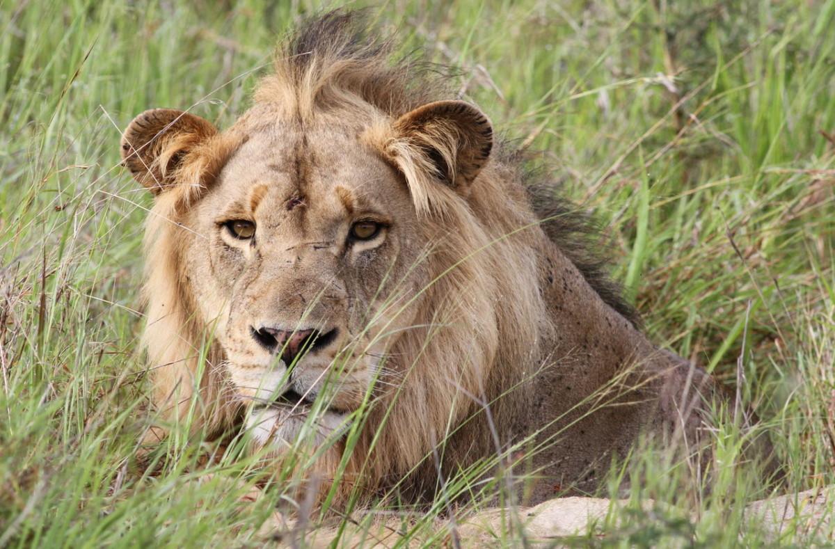 Agyontaposta egy elefánt, majd oroszlánok falták fel az orvvadászt