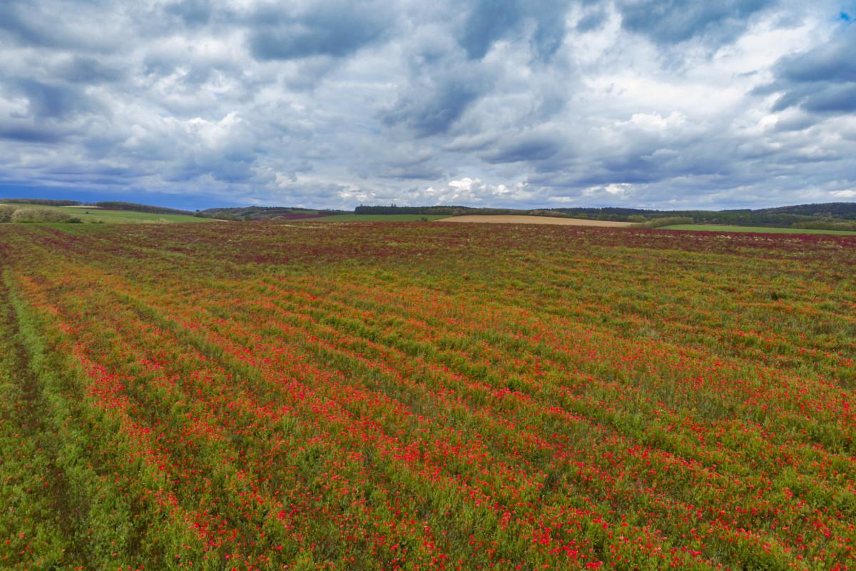 Virágzó pipacsok (Papaver rhoeas) egy vörösheremezőben (Trifolium pratense) a Zala megyei Felsőrajk határában 2019. május 21-én.