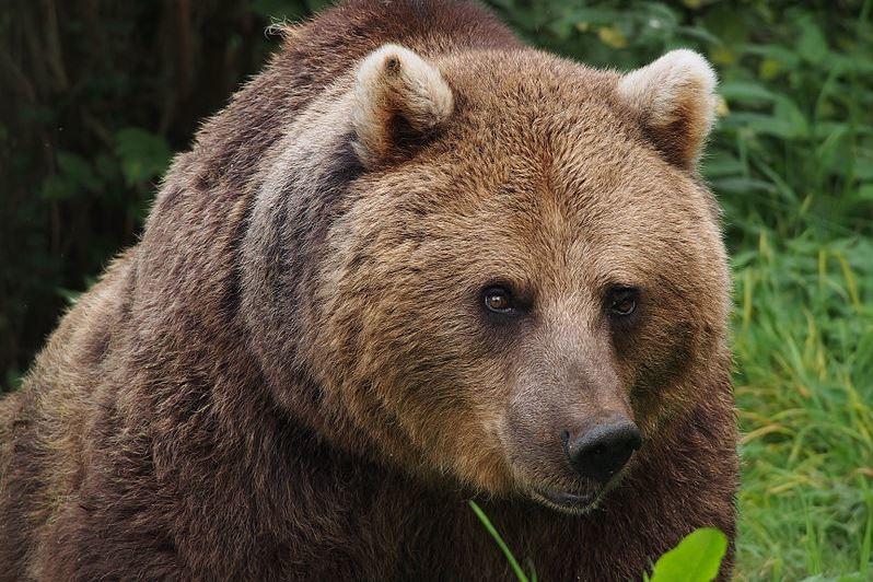 Szétmarcangolt egy embert egy medve Romániában