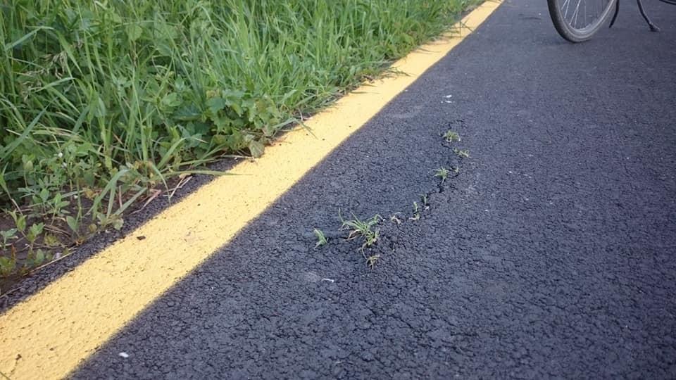 Kinőtt a fű a januárban átadott bicikliútból Békásmegyer és Szentendre között