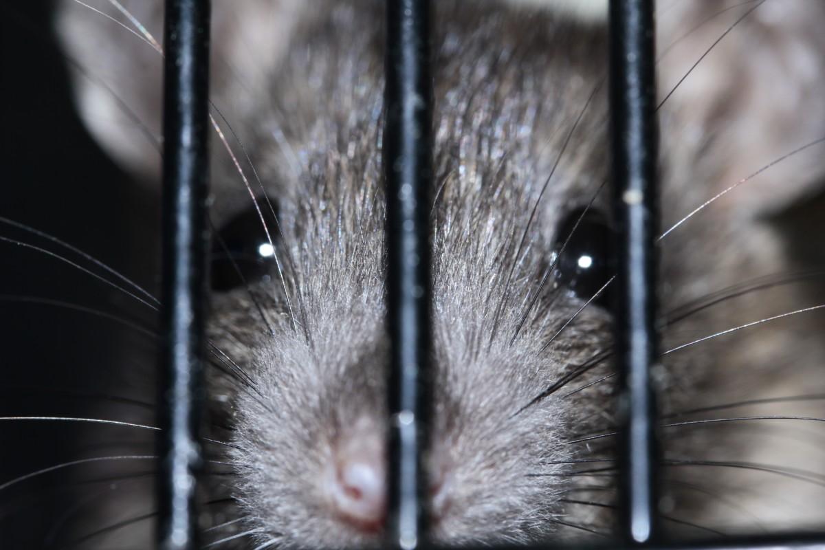 Szerdán indul a patkányirtás Budapesten
