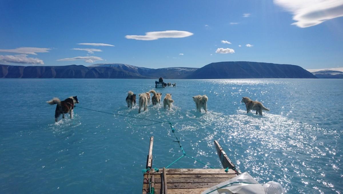 Itt a videó, amint vízben gázolnak a szánhúzó kutyák a grönlandi hőségben