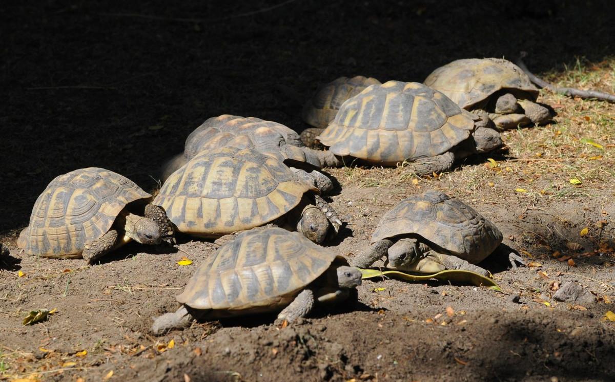 Görög teknősök a budapesti állatkertben.