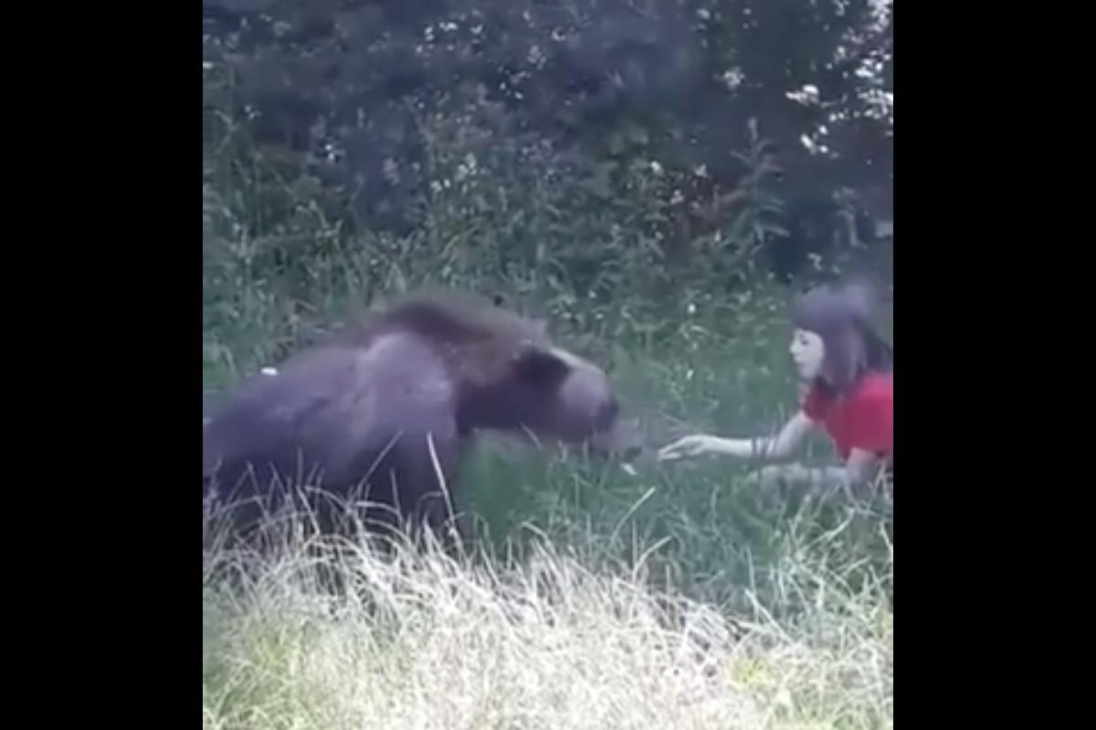 Kézből etetett egy medvét egy kislány a Transzfogarasi úton