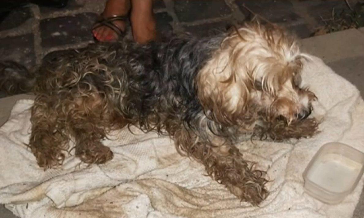 A zsákban talált, félholtra vert yorkshire terrier.