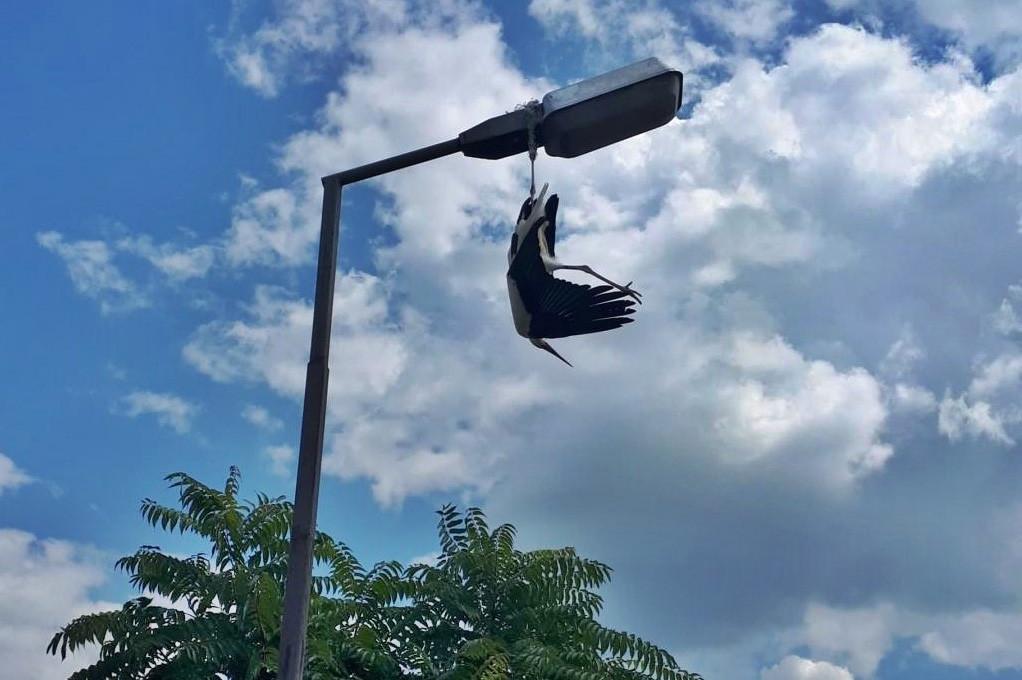 Lámpaoszlopon lógott egy gólya Kisújszálláson, a tűzoltók szedték le