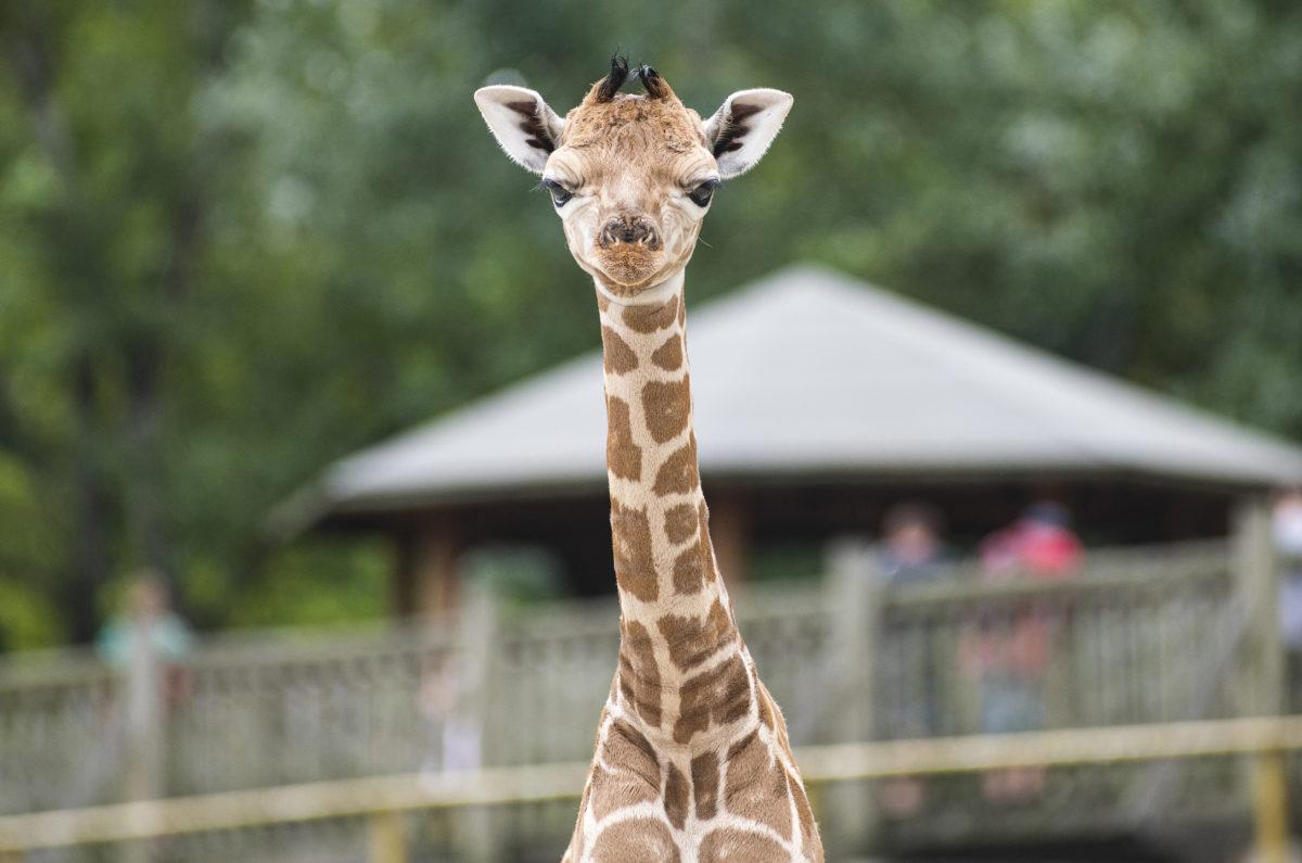 Hatnapos Rotschild-zsiráf (Giraffa camelopardalis rothschildi) a Nyíregyházi Állatpark Afrika kifutójában 2019. augusztus 8-án.