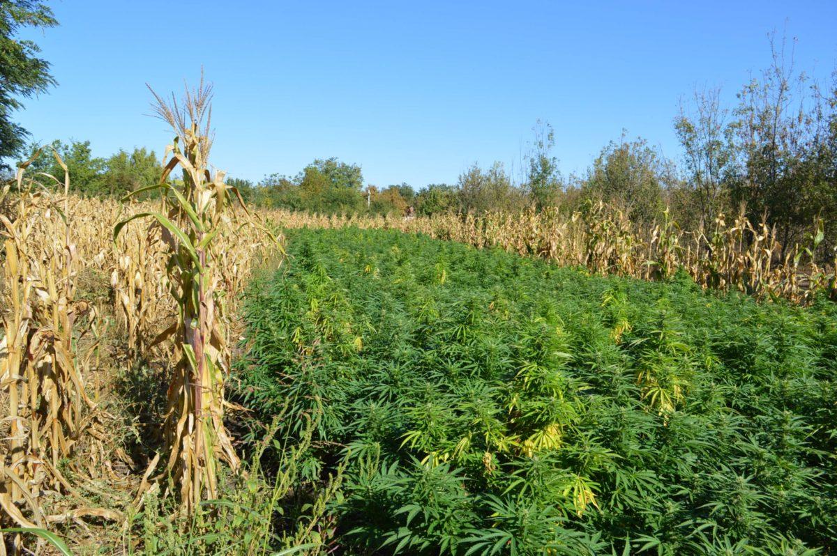 A kukorica között nőtt a drog Orosházán.