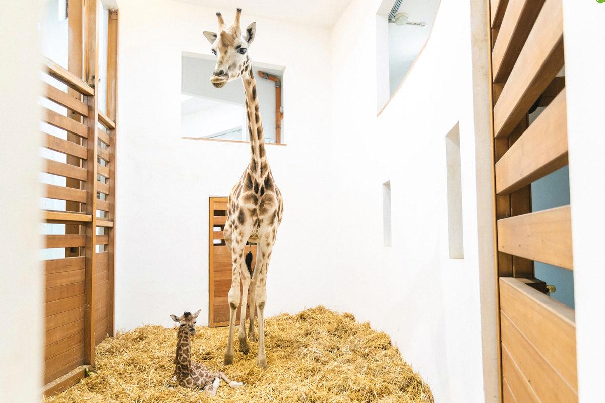 A Veszprémi Állatkert újszülött zsiráfja és anyja 2019. augusztus 22-én.