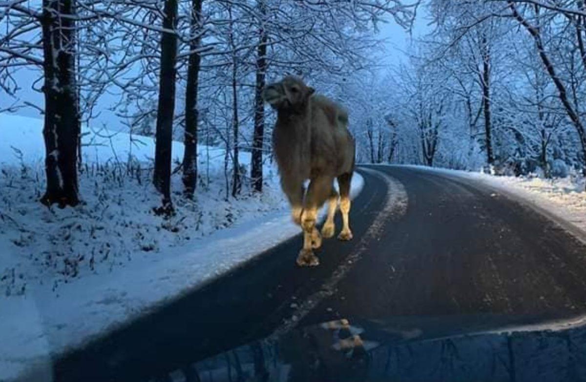Teve Csehországban, egy behavazott hegyi úton.