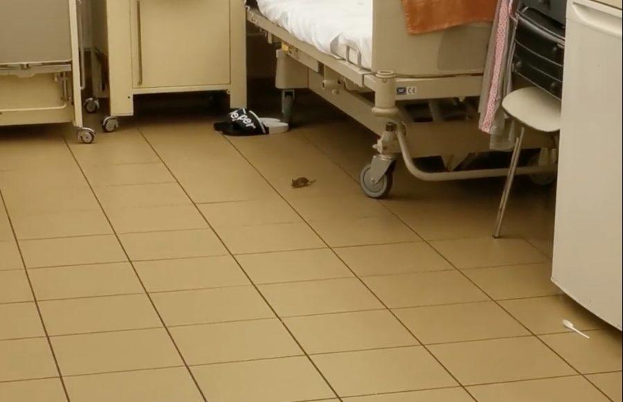 Egér szaladgált az ágyak között egy budapesti kórház szülészetén