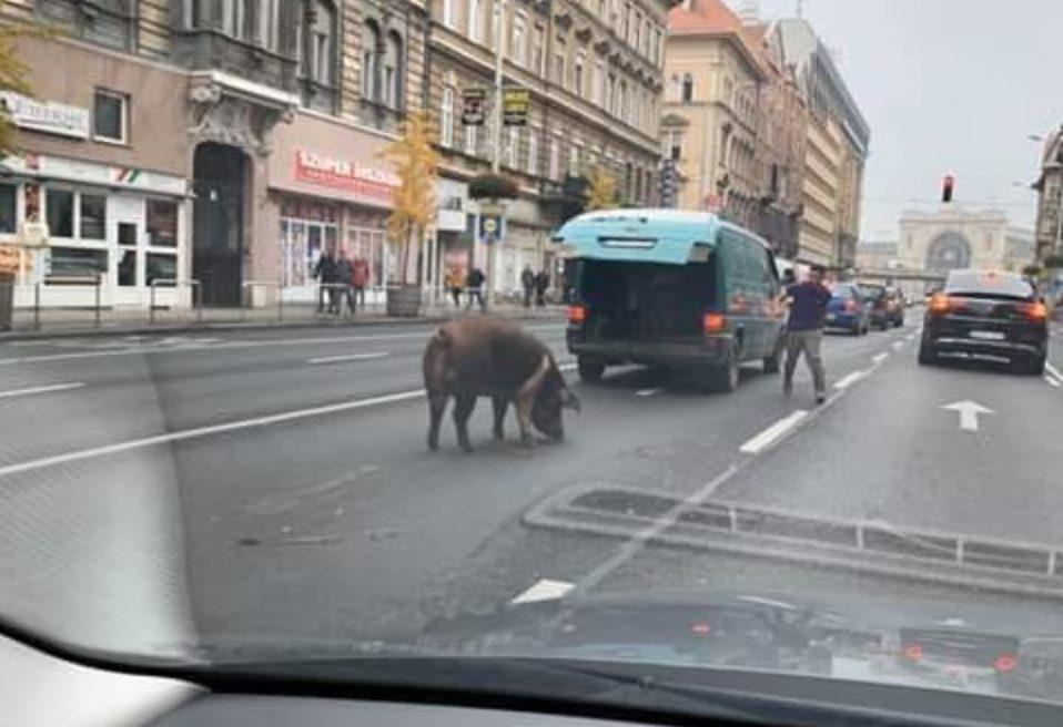 Disznó rohangált a Rákóczi úton, Budapesten