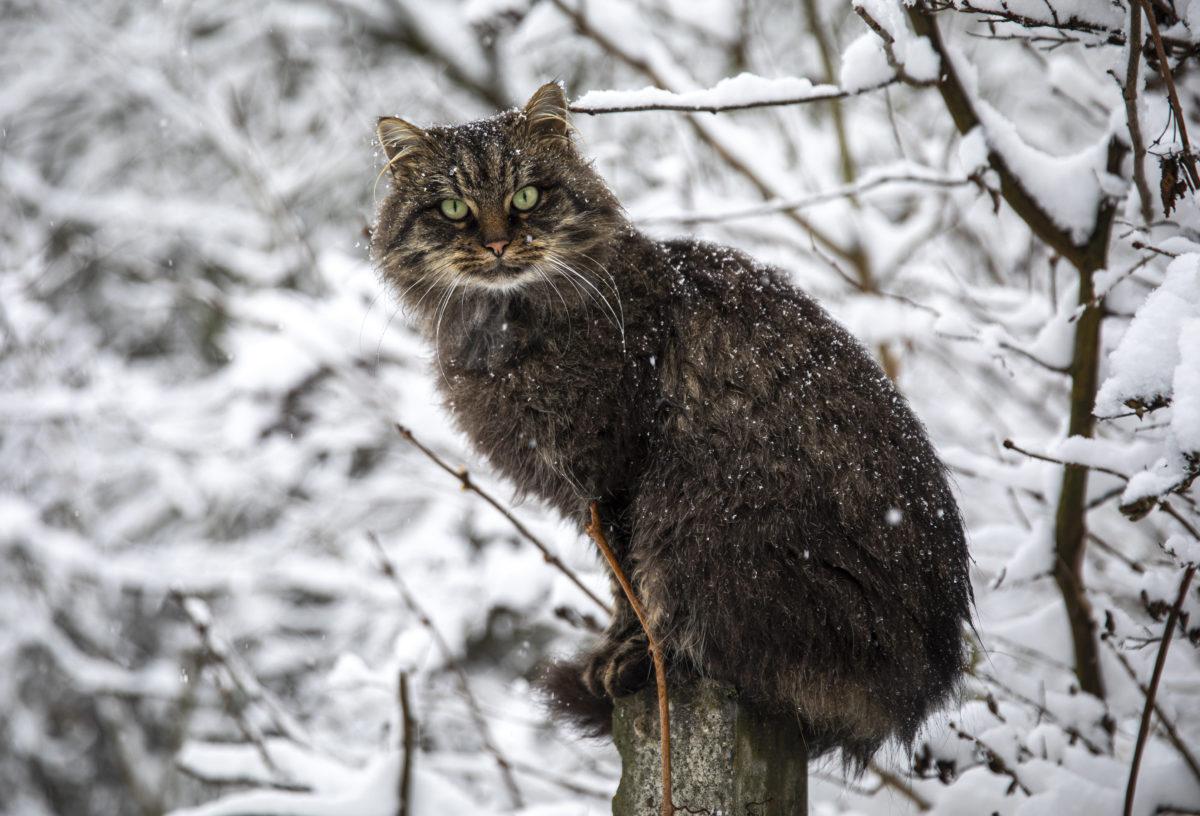 Macska a hóesésben a Pócsmegyerhez tartozó Surányban 2019. december 2-án.
