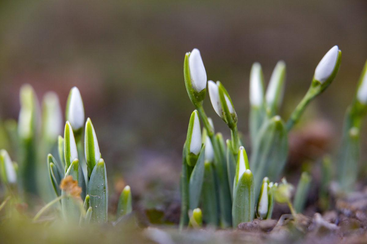 Nyílik a hóvirág Nagykanizsán 2020. január 6-án.