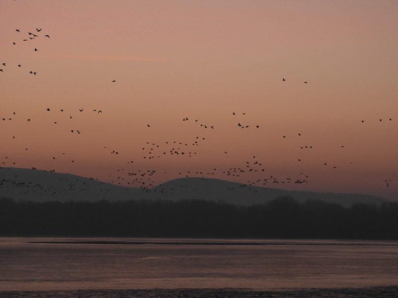 Az Öreg-tóra behúzó vadludak Tatán 2019. december 30-án délután.