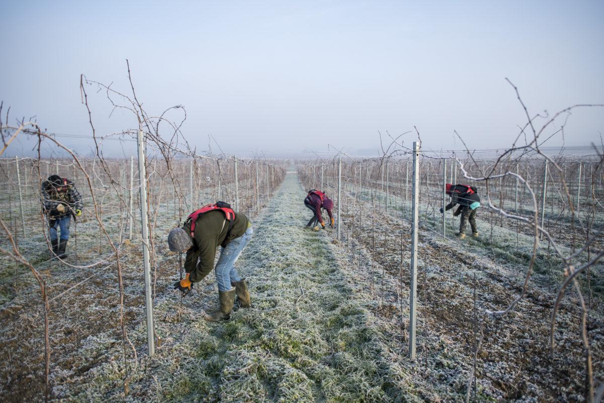 Szőlőmetszés a Csányi Pincészet irsai olivér ültetvényén Kisharsány közelében 2020. január 22-én.