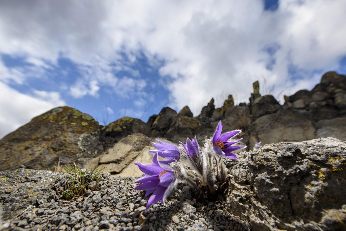Leánykökörcsin (Pulsatilla grandis) virágzik Salgótarján közelében 2020. február 27-én. A Magyarországon védett növény természetvédelmi értéke tízezer forint.