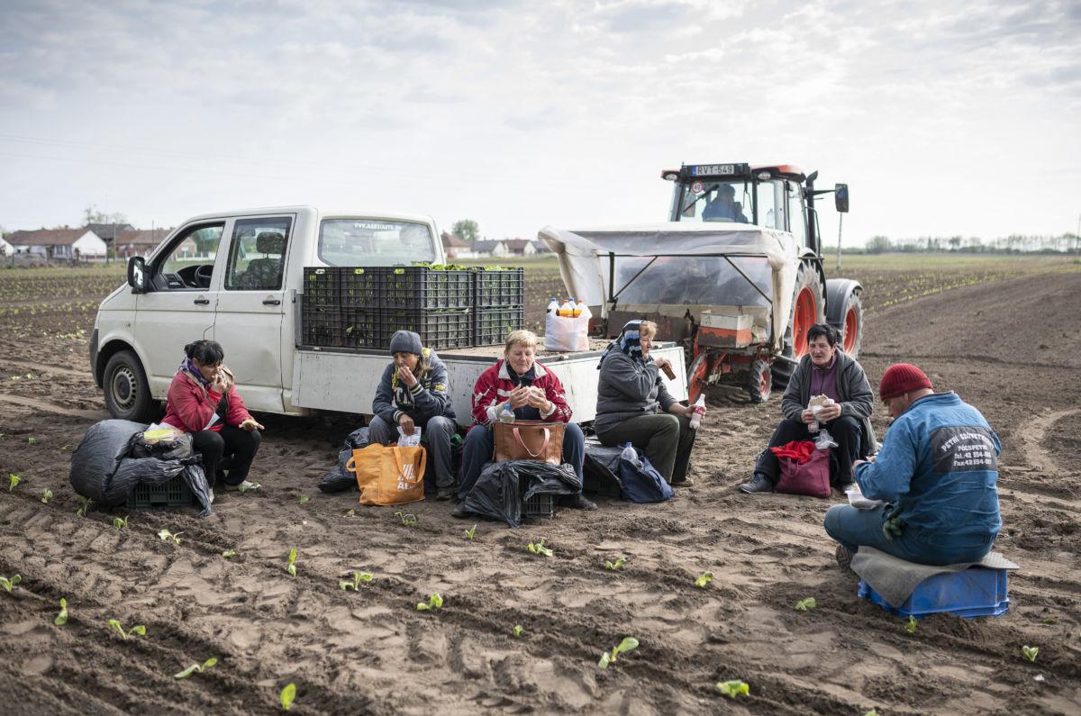 Mezőgazdasági munkások esznek a Virginia típusú dohánypalánták ültetése közben tartott szünetben egy magántermelő földjén, Pócspetriben 2020. május 15-én.