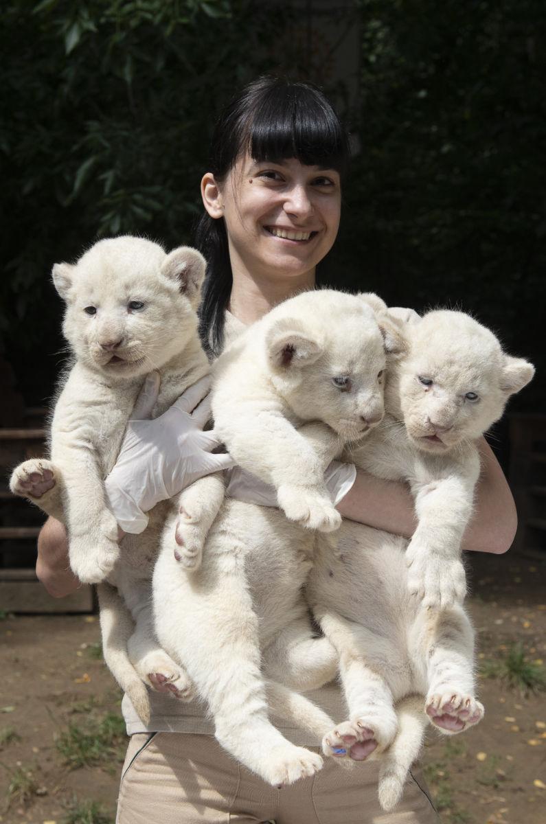 Bóka Gabriella állatorvos a négy hete született nőstény fehéroroszlán-kölykökkel (Panthera leo krugeri) a Nyíregyházi Állatparkban 2020. július 27-én.