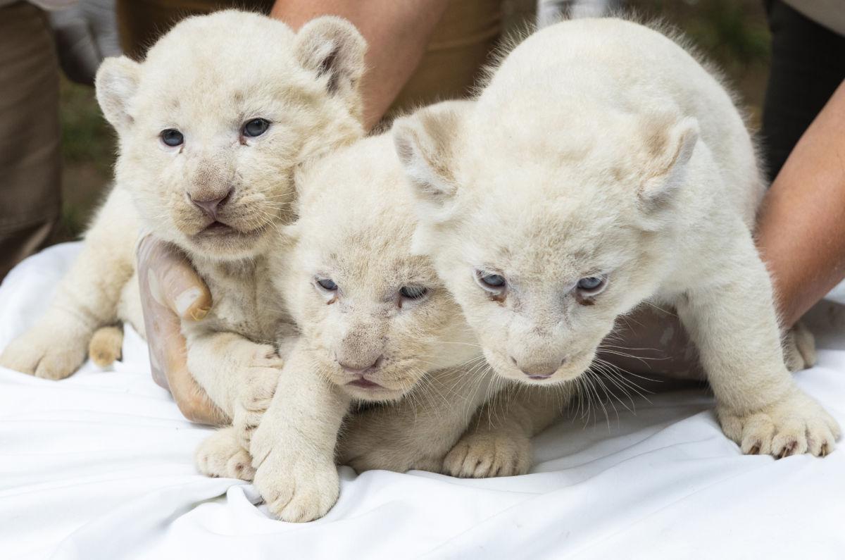 Négy hete született nőstény fehéroroszlán-kölykök (Panthera leo krugeri) a Nyíregyházi Állatparkban 2020. július 27-én.