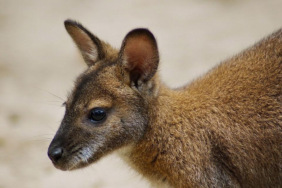 A Miskolci Állatkert egyik Bennett-kenguruja.