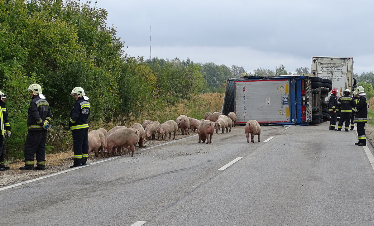 Sertéseket szállító kamion felborult pótkocsijából elszabadult állatok a 451-es főúton Szentes közelében 2020. október 16-án.