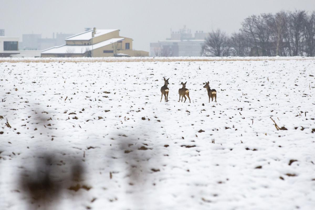 Őzek behavazott szántóföldön Zalaegerszegen határában 2021. január 8-án.