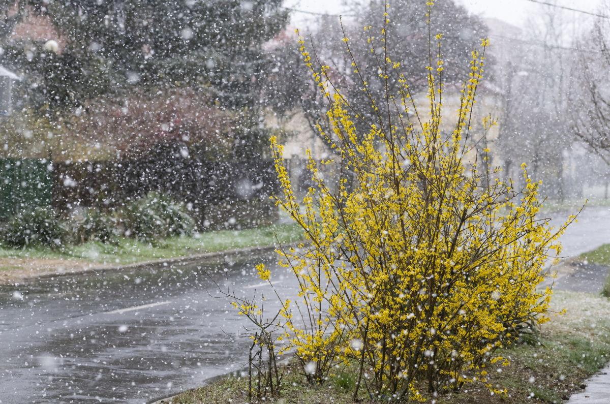 Virágzó aranyeső hóesésben Nyíregyházán, a Krúdy Gyula utcában 2021. április 6-án.