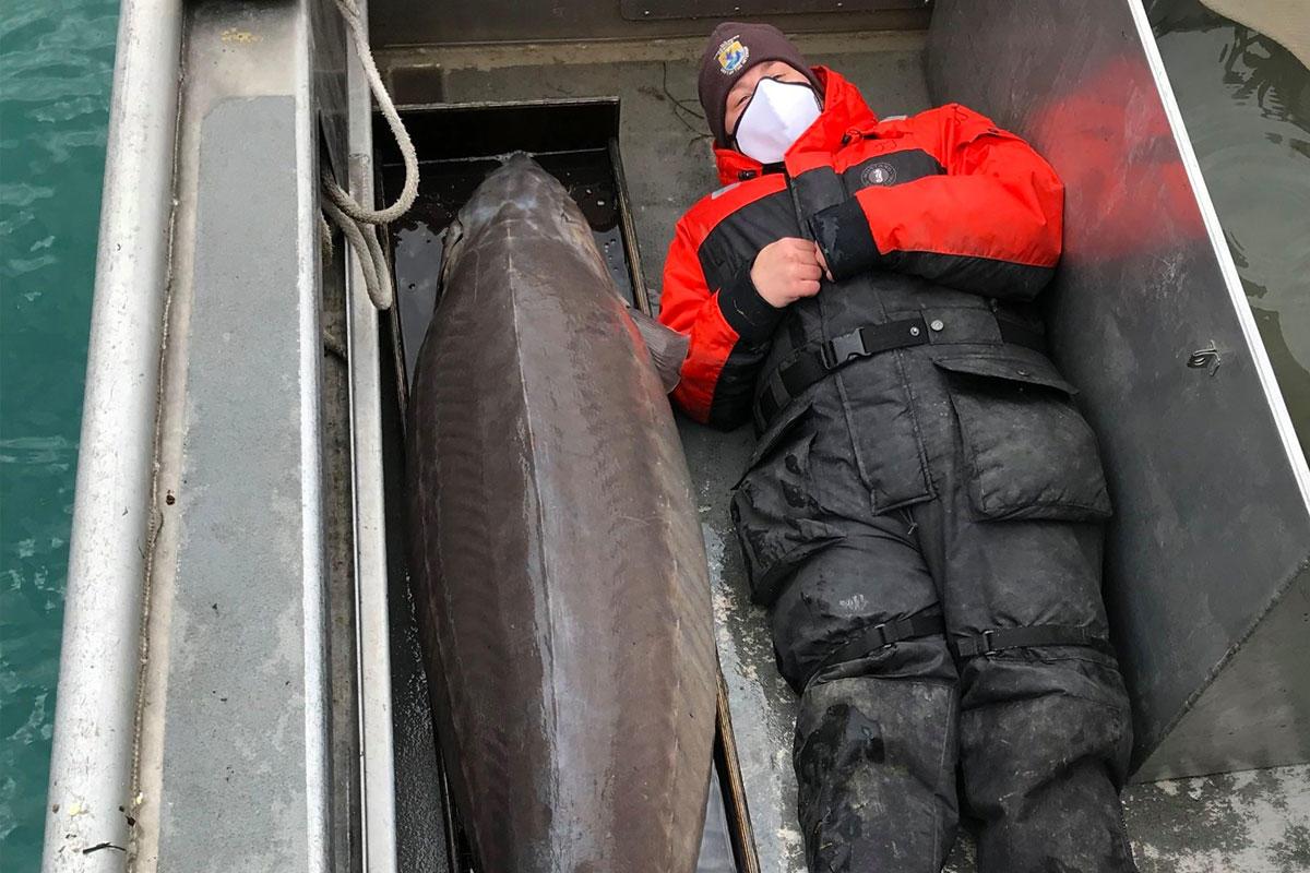 Több mint 100 éves, csaknem kétméteres tokhalat fogtak ki a Detroit folyóból