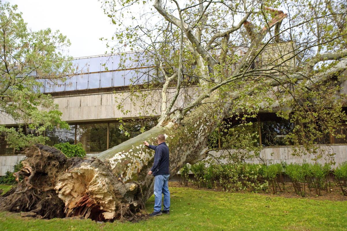 A viharban kidőlt, két méter törzsátmérőjű, harminc méter magas öreg platánfa a Margitszigeten 2021. május 5-én.