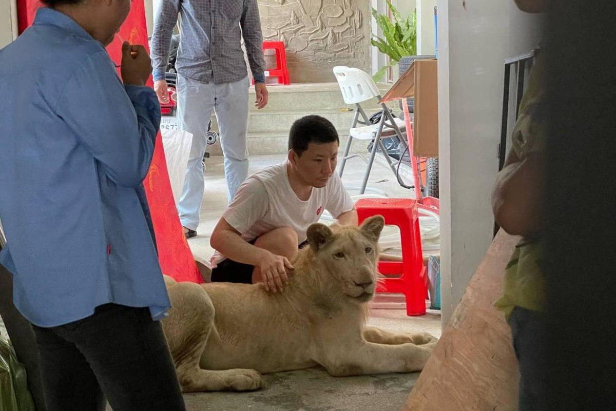 TikTok-videó alapján találtak rá egy illegálisan tartott oroszlánra Kambodzsában